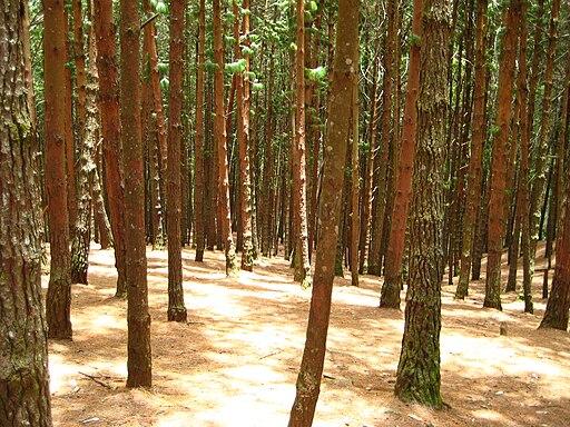 Pine forest, Kodaikanal