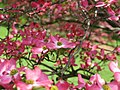 Pink-flower-tree-dogwood - West Virginia - ForestWander.jpg