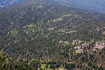Pinos silvestres en la sierra Cebollera 2.JPG