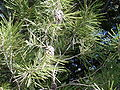 Pinus halepensis High Atlas.jpg