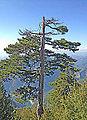 Pinus nigra - Black pine.JPG
