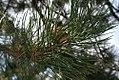 Pinus nigra nigra 2zz.jpg