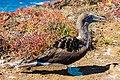 Piquero patiazul (Sula nebouxii), Punta Pitt, isla de San Cristóbal, islas Galápagos, Ecuador, 2015-07-24, DD 67.JPG
