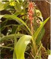 Pitcairnia maidifolia BotGardBln310505.jpg
