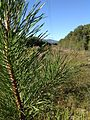 Pitch pine sapling.JPG