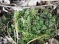 Plagiomnium affine Podkomorské lesy.jpg