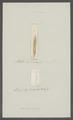 Planaria linearis - - Print - Iconographia Zoologica - Special Collections University of Amsterdam - UBAINV0274 105 07 0003.tif