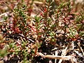 Plant 6 Sos Alinos Cala Ginepro 19072014.jpg