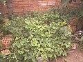 Plantação de Phaseolus vulgaris.jpg