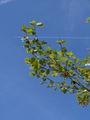 Platanus xhispanica.leaves(01).jpg