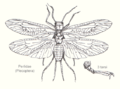Plecoptera-perlidae1-sp.png