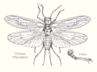Plecoptera - Adult of family Perlidae (Systellognatha)