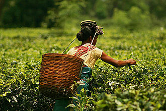 Artha - Image: Plucking tea in a tea garden of Assam