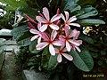 Plumeria flower4.jpg