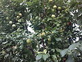Plums on Tree2.jpg