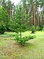 Podlaskie - Suprasl - Kopna Gora - Arboretum - Pinus sylvestris - plant.JPG