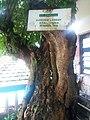 Pohon Kelengkeng Tua - panoramio.jpg
