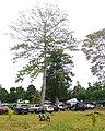 Pohon randu kapuk di ransiki.jpg