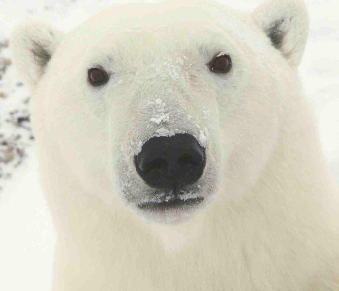 File:Polar Bear 0319 - 23-11-06.jpg