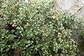 Polycarpon tetraphyllum kz2.jpg