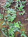 Polypodium scouleri (6062141147).jpg