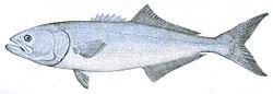 definition of bluefish