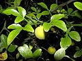 Poncirus trifoliata R.H (5).JPG