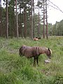 Ponies grazing in the Hawkhill Inclosure, New Forest - geograph.org.uk - 43451.jpg