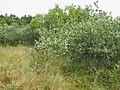 Populus alba Topola biała 2020-06-29 02.jpg