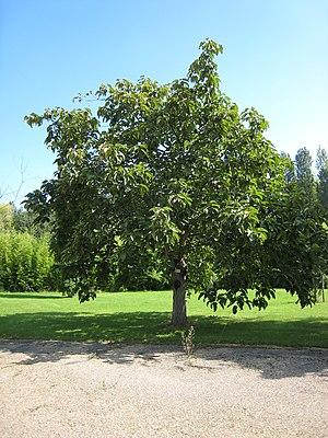 Populus lasiocarpa