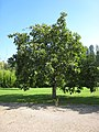 Populus lasiocarpa.jpg