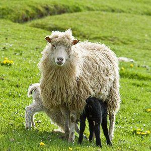 Faroe Islands domestic animals - Faroe ewe and her twin lambs