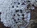 Porpidia macrocarpa (DC.) Hertel & A.J. Schwab 556508.jpg