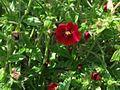 Potentilla atrosanquinea 2-OB9.jpg
