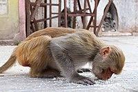 Potroit of Rhesus Macaque at Swayambhunath Stupa 02.jpg