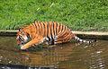 Prague Zoo - tiger.jpg