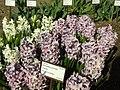 Praha, Troja, Botanická zahrada, Hyacint východní (fialový).JPG
