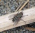 Probably Sarcophagidae. Flesh fly - Flickr - gailhampshire.jpg