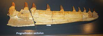 Maastricht Formation - Image: Prognathodon sectorius