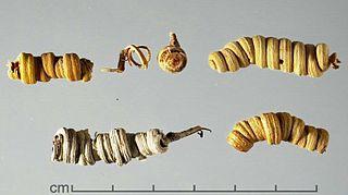 <i>Prosopis strombulifera</i> species of plant