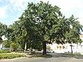 Protected Quercus robur, 2017 Nyírbátor.jpg