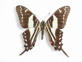 Description de l'image Protographium marcellinus (Doubleday, -1845-) Male.JPG.