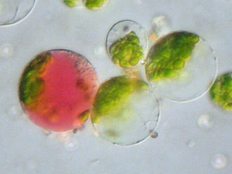 Protoplast - Fused protoplast (on left), containing both chloroplasts (from a leaf cell) as well as a  coloured vacuole (from a petal).