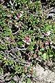 Prunus (Cerasus) amygdaliflora (Rosaceae) (32852049840).jpg