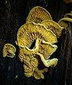 Pseudomerulius curtisii (Berk.) Redhead & Ginns 897787.jpg