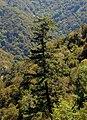 Pseudotsuga macrocarpa Big Santa Anita Canyon.jpg