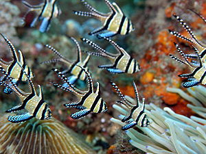 Banggai cardinalfish - In the wild, Lembeh Straits, North Sulawesi, Indonesia.