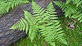 Pteridium aquilinum var. pubescens 2.jpg