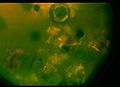 Puccinia34 14.09.jpg