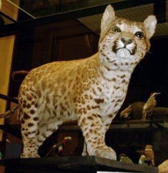 Pumapard - Pumapard, Rothschild Museum, Tring